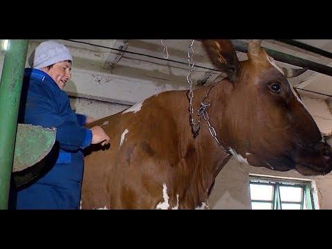 Рекорд установила корова в Красноармейском районе Кубани