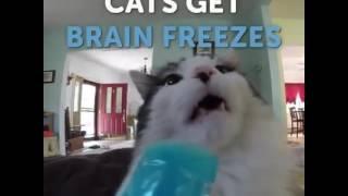 Cats getting brain freeze