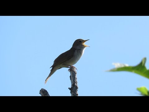 The beautiful song of the Common Nightingale - Luscinia megarhynchos / Altea - Spain / April 2018