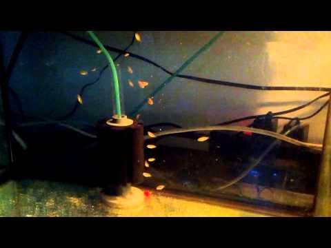 feeding jewel cichlid fry
