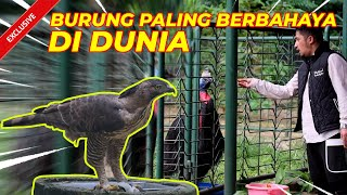 FEEDENG THE MOST DANGEROUS BIRD FROM PAPUA!!