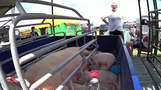 Сельхоз животные свиньи, коровы, лошади, овцы и т.д.Международная выставка «Белагро-2019
