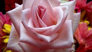 Красивая японская песня и розы   Beautiful Japanese song and roses