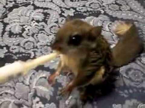 Flying Squirrel Baby Diet - downloadsinter   Baby Squirrel Diet