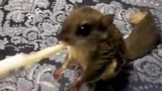 Feeding my baby flying squirrel