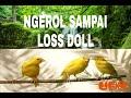 Terapi Kenari Suara Alam Untuk Burung Stres Dan Malas Bunyi Ampuh Ngerol Panjang Sampai Los Dol  Mp3 - Mp4 Download