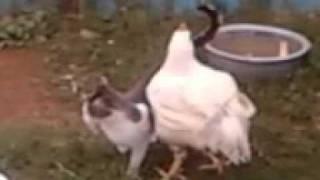 Кот-Курица