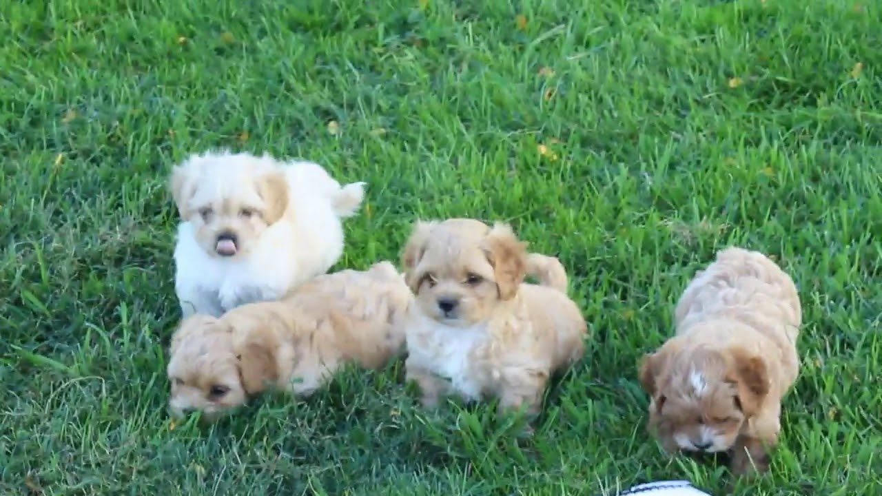 K A Poo Puppies For You