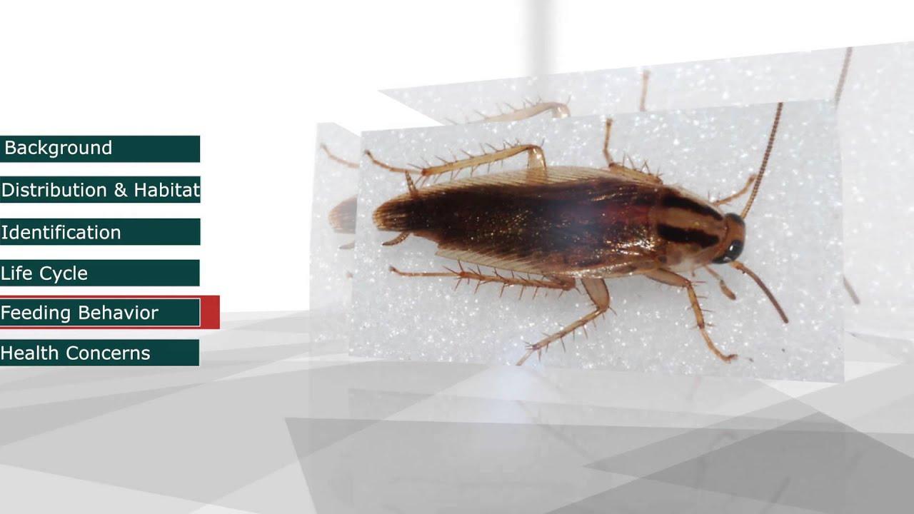 Pestec: German Cockroach (Blattella germanica) - YouTube
