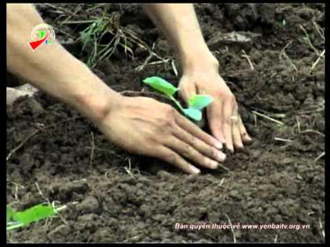 Kỹ thuật trồng bí đỏ hạt đậu vụ đông