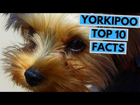 yorkipoo---top-10-interesting-facts