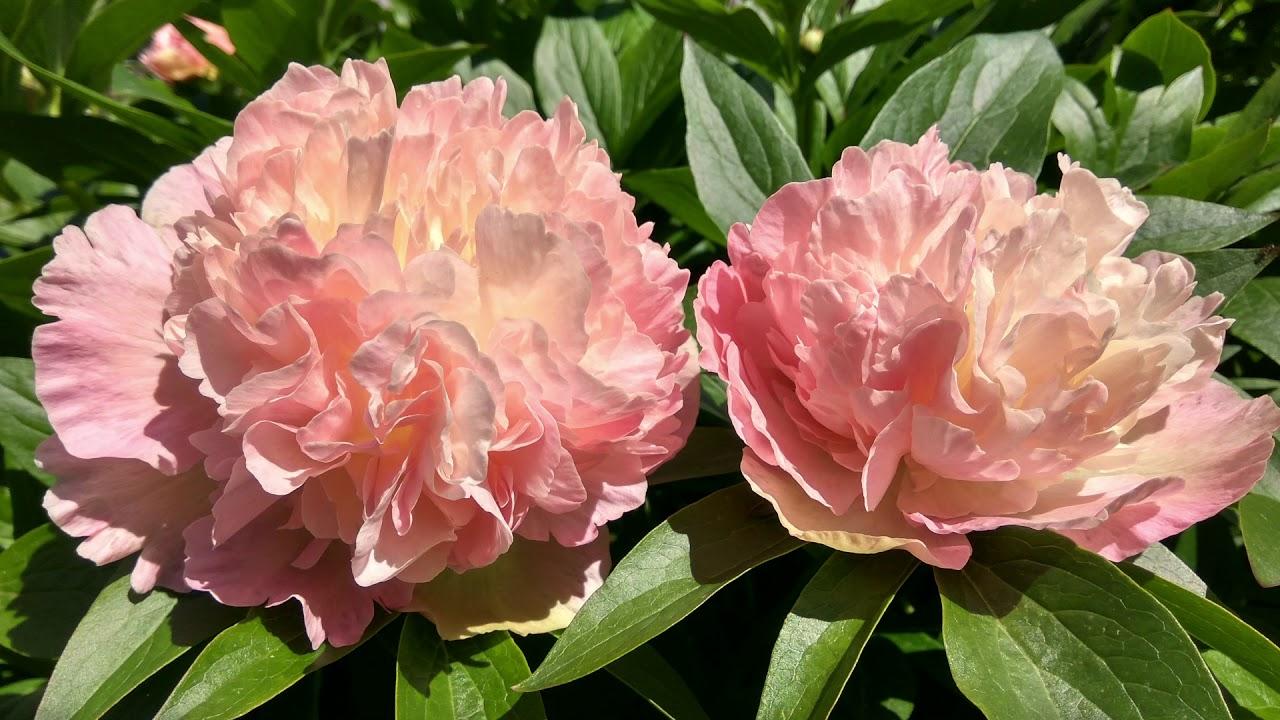 Купить видовые пионы можно по 300р за растение, прием заказов на. Линда`с дрим linda`s dream (mccrae-adelman, 2013), лоис чойс lois`.