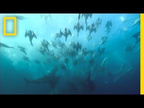 Giant Predator Swarm Attacks Fish | National Geographic
