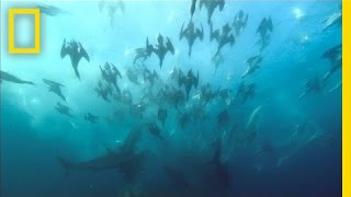 Giant Predator Swarm Attacks Fish | National Geographic