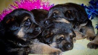 Открыт резерв на щенков немецкой овчарки шоу класса