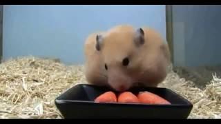 Смешные хомячки, смешное видео про хомячков.