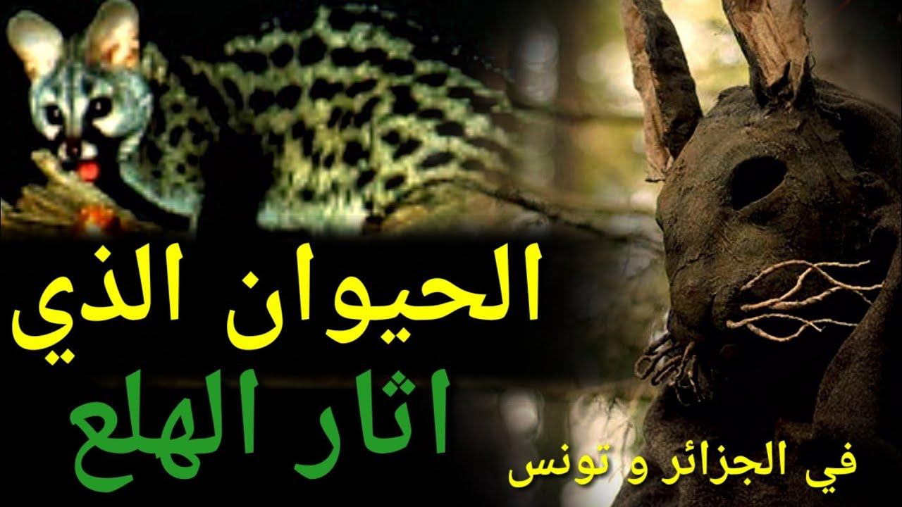 انتشار حيوان الزردي او الزيردة المفترس في تونس والجزائر الذي افترس اغنامهم الحيوان الغامض Youtube