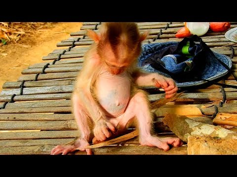 Cute Monkey Midi On The Hut In Forest