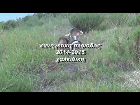 DVD Κυνηγι λαγου με beagle στη χαλκιδικη περιοδος 2014-2015