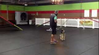 Kacie German Shepherd, Dog Training Charlotte North Carolina
