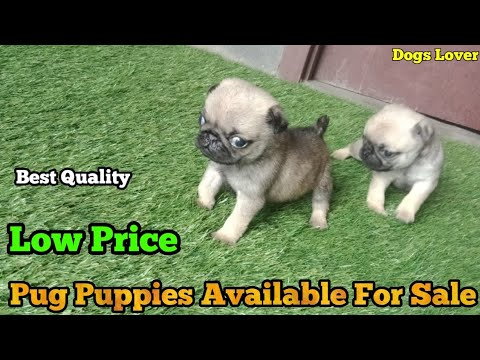 Top Quality Pug Puppies Available For Sale 🐶|| Pug Puppies Male Female Pup Ready For Sale 🐶