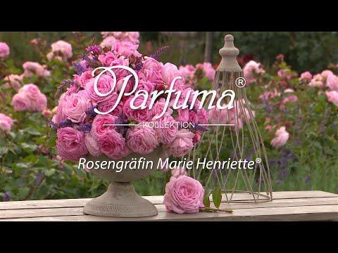 Sortenporträt Parfuma Duftrose 'Rosengräfin Marie Henriette ®'