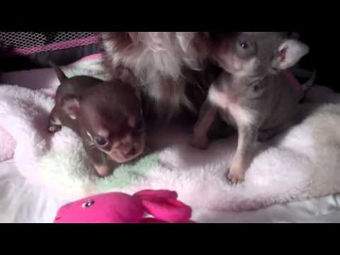 BLUE Chihuahua Puppies For Sale Applehead Chocolate Babies Short And Cobby Texas