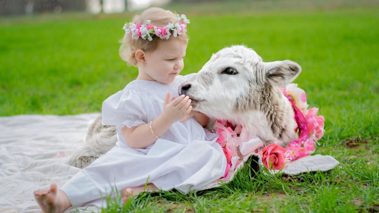 2 year old girl takes care of 3 day old baby cow when calf s mother