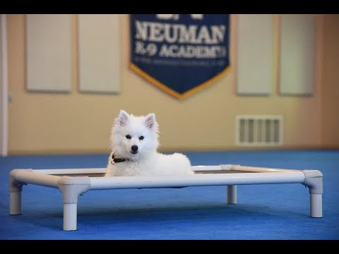 Norman (Miniature American Eskimo) Boot Camp Dog Training Demonstration