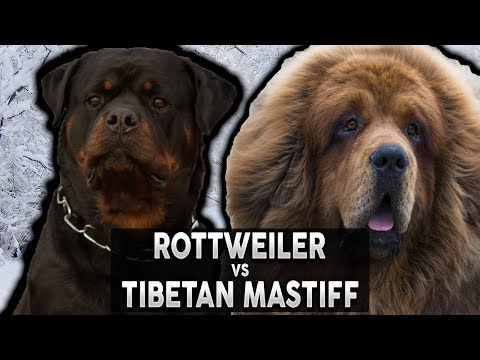 ROTTWEILER VS TIBETAN MASTIFF! The Best Guard Dog Breed For First Time Owners!