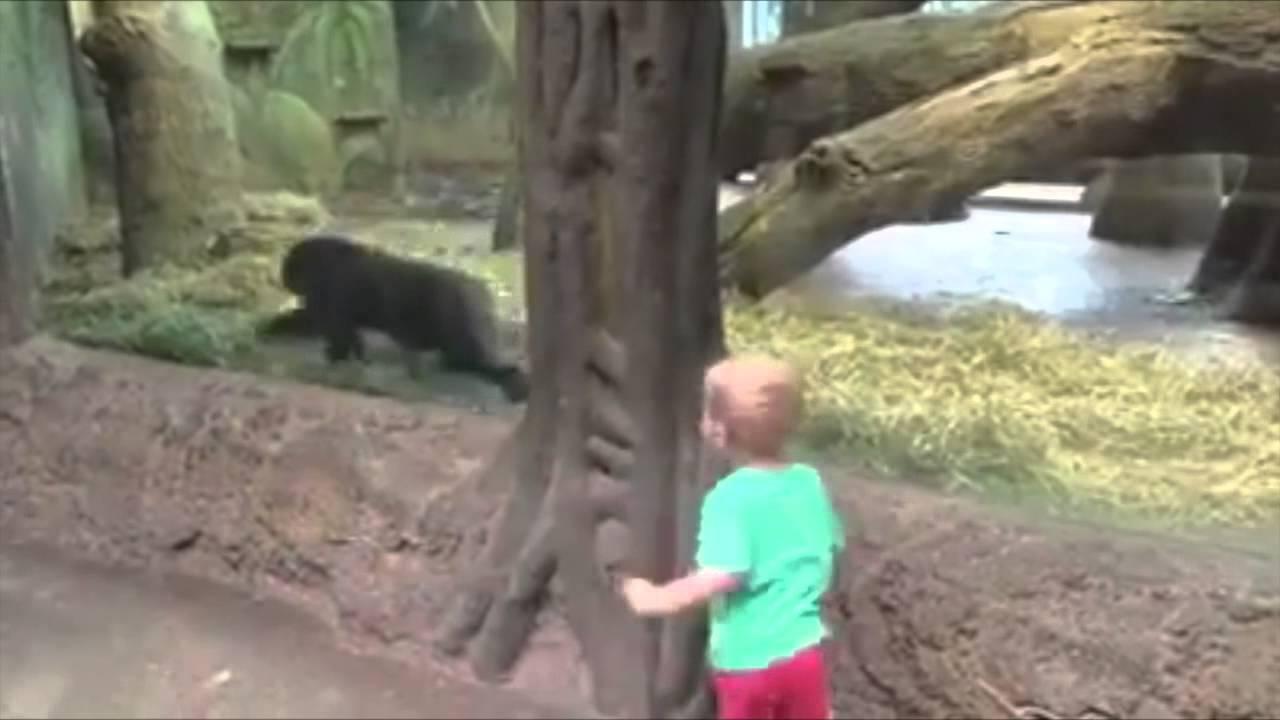 Tenerissimo un bimbo gioca a nascondino con un gorilla allo zoo