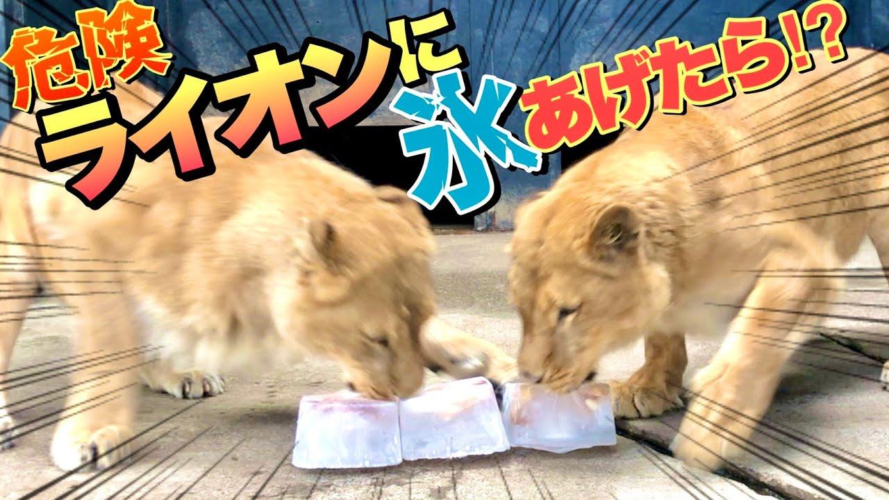 【予想外】ライオンにお肉の入った氷をあげたら反応が意外すぎた!ww  If you feed the lion with ice