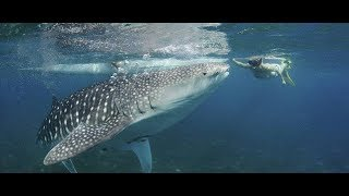 CUTE GIRL TRIES UNDERWATER BALLET WITH THE MASSIVE WHALE SHARKS, FUNNY, OSLOB PHILIPPINES