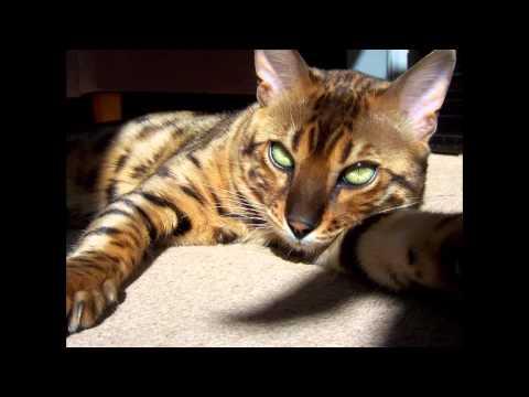 Серегнети (Serengeti cat) породы кошек( Slide show)!