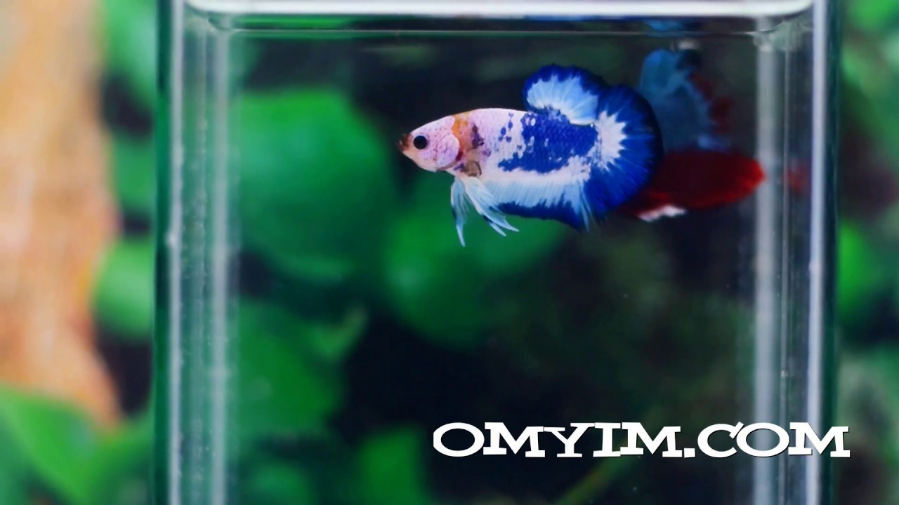 betta fish of sale - the beauty of white blue betta fish.