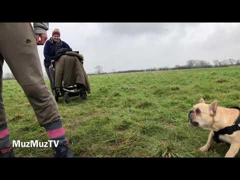 French bulldog attack dog
