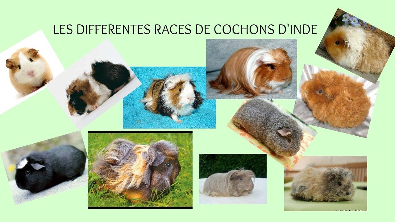 les différentes races de cochons d'inde - YouTube