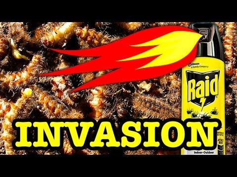 10000 Stinging Caterpillars Vs 1000 Degree Raid Flamethrower Extreme Pest Control