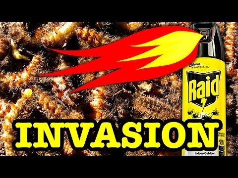 10000 Stinging Caterpillars Vs 1000 Degree Flames Extreme Pest Control