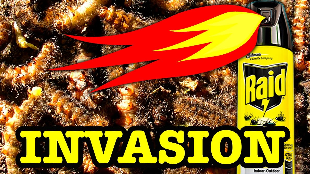 10000 Stinging Caterpillars Vs 1000 Degree Flames Extreme Pest Control