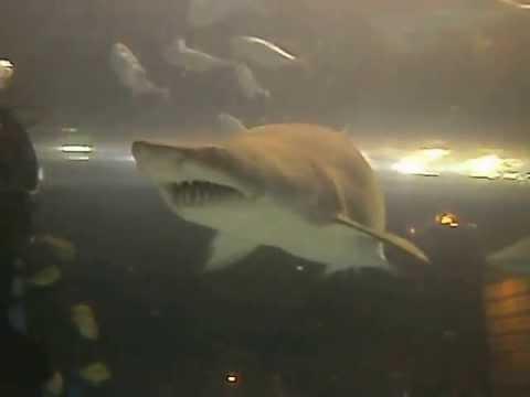 Patriot Scuba Videos | North Carolina Aquarium Shark Dive