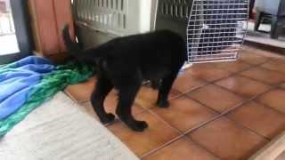 Akc Black German Shepherd Puppy Plays