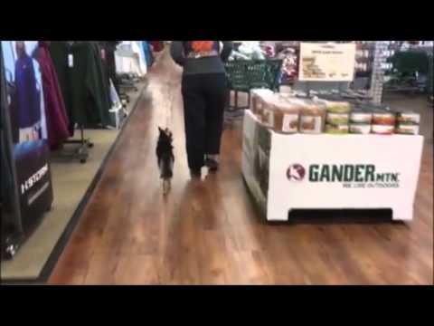 Alaskan Klee Kai, Misha!  Best Dog Training Virginia   Best Dog Trainers Virginia