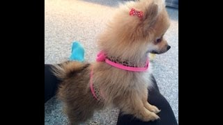 Cutest Teacup Pomeranian Puppy Ever
