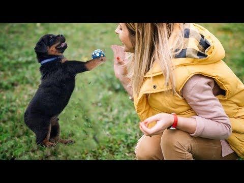 Best Trained Rottweiler Puppy in the World Smartest Dog Tricks