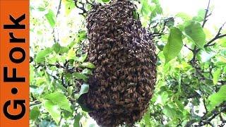 Bee Swarm Capture - Beekeeping 101 - GardenFork.TV