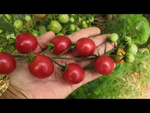 Мои томаты черри, обзор урожая на начало августа.