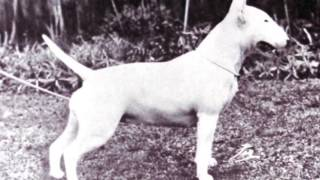 Bull Terrier Club - Regent Trophy Winners