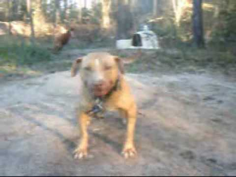 Gr CH MAYDAY ROM, HOLLINGSWORTH DOGS ( TheRealPitBull com)
