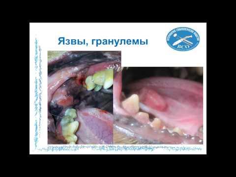 Вебинар Заболевание пародонта плотоядных 07.09.2014